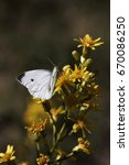 Small photo of white pieridae butterfly on a flower