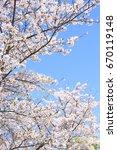 amazing yoshino sakura blossoms ...   Shutterstock . vector #670119148