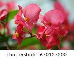 Close Up Of Pink Begonia Flower