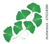 ginkgo biloba leaves   Shutterstock .eps vector #670218280