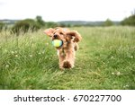 Stock photo cocker spaniel puppy runs with ball in mouth 670227700