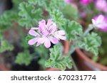 geranium fragrance  pelargonium ... | Shutterstock . vector #670231774