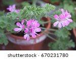 geranium fragrance  pelargonium ... | Shutterstock . vector #670231780