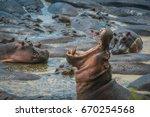 Adult Male Hippopotamus In A...
