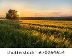 field of oats.  | Shutterstock . vector #670264654
