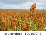 sorghum is efficient in... | Shutterstock . vector #670307749