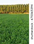 Small photo of Agriculture alfalfa forage Side hops plantation of poplars and other background