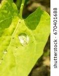 Small photo of dew drop on green orach leaf