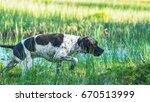Dog English Pointer Hunting On...