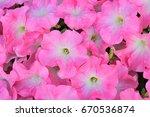 Pink Petunia Flowers.