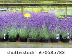 Pots With Blooming Lavender...
