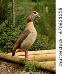 Small photo of Egyptian goose (Alopochen aegyptiacus) standing near lake or river