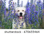 adorable golden retriever dog... | Shutterstock . vector #670655464