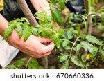 hands of gardener tied up... | Shutterstock . vector #670660336