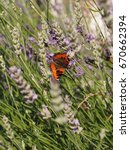 Small photo of Small tortoiseshell (Aglais urticae) on Lavender in a park on a sunny summer day