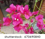 bougainvillea flowers close up | Shutterstock . vector #670690840