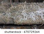 Small photo of fungus attack on wooden beam, mycelium of Serpula lacrymans and Fibroporia vaillantii