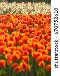 orange tulips in sunshine day | Shutterstock . vector #670752610