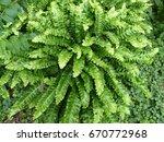 asplenium scolopendrium  known... | Shutterstock . vector #670772968