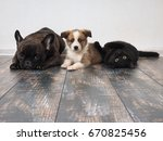 Stock photo adult dog puppy and cat lying on the floor 670825456