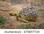 leopard tortoise grazing on... | Shutterstock . vector #670857724