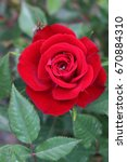 Red Rose. Single Beautiful Ros...