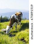 cow drinks water on mountain... | Shutterstock . vector #670891519