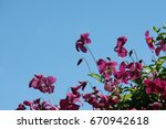 Purple   Pink Clematis Plant...