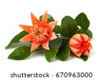pomegranate branch with flowers ... | Shutterstock . vector #670963000