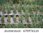Small photo of Allium fistulosum or welsh onion in Magelang Regency, Central Java, Indonesia.