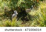 african shoebill stork... | Shutterstock . vector #671006014