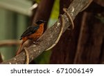 snowy crowned robin chat bird... | Shutterstock . vector #671006149