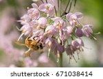 Small photo of Honeybee (Apis mellifera) pollinating a Nodding Onion wildflower (Allium cernuum)