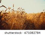gold wheat field. beautiful...   Shutterstock . vector #671082784