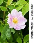 Pink Wild Rose  Portrait