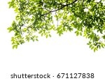 green leaf and branches on... | Shutterstock . vector #671127838