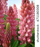 pink lupine close up | Shutterstock . vector #671180308
