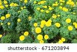 garden marigold yellow.   Shutterstock . vector #671203894
