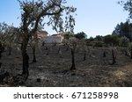 olive tree field burnt down...