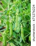 peas growing. selective focus. | Shutterstock . vector #671276224