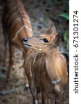 Small photo of Lovely Nyala raising the head and looking curiously in the natural environment.
