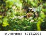 funny cute relaxing panda enjoy ... | Shutterstock . vector #671312038