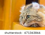 Lovely American Curl Cat On Th...