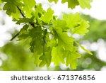 fresh green oak tree leaves... | Shutterstock . vector #671376856
