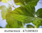 leaves of the tree mulberry in... | Shutterstock . vector #671385823