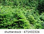 conservation nordmann fir trees | Shutterstock . vector #671432326