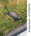 Small photo of Dead coypu (Myocastor coypus) killed on road