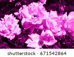 purple roses | Shutterstock . vector #671542864