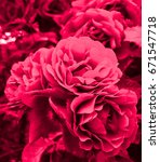 red roses | Shutterstock . vector #671547718