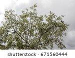 tree lush silver green foliage... | Shutterstock . vector #671560444